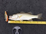 Small Bass Eats Lure 1/3 its Size